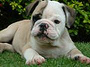 English bulldog puppies seeking new homes